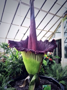 Morty, the corpse flower, in bloom!!!