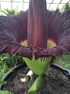 close up of the corpse flower... P U!!!